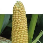Maximise maize yields to offset threat of summer drought