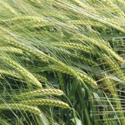 Barley contract offers added security for 2021