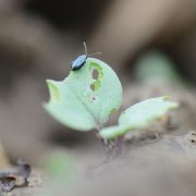 Watch out for flea beetle pressure as spring beckons