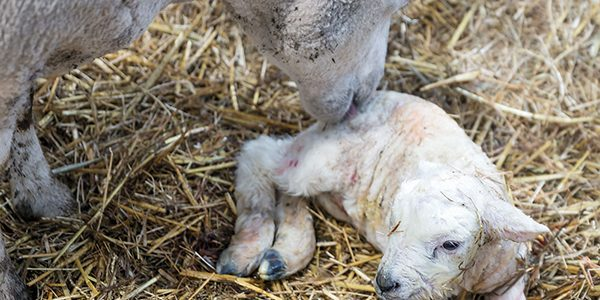 Focus on immunity to protect young lambs this spring