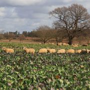 Fodder crops could prove lifeline for dairy and livestock producers