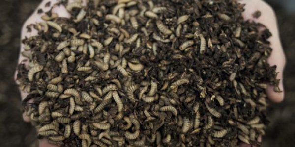 How insect manure could help grow crops