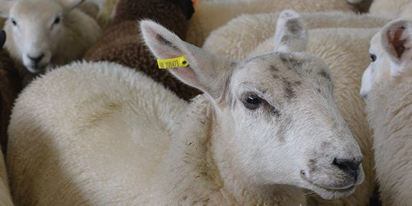 Farm leaders join forces to oppose live export ban