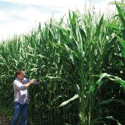 Impressive results for late maturing maize
