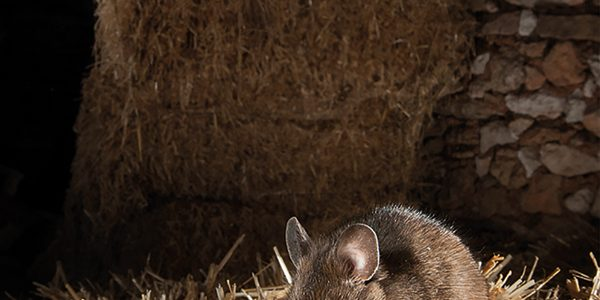 Beware of rodents attacking precious straw stacks
