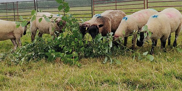 Willow leaves 'reduce emissions from sheep'