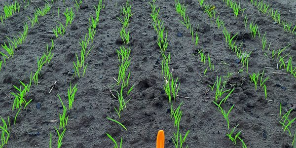 New seed treatment available for winter cereals this autumn
