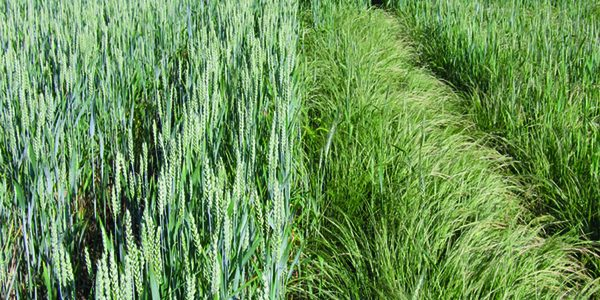 Wanted: call for help to prevent 'new blackgrass'