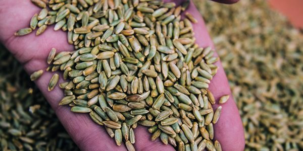 Trials highlight benefits of hybrid rye in pig diets