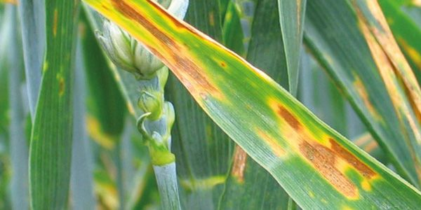 Consistency should drive cereal variety decisions