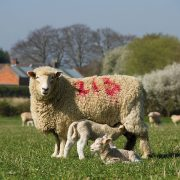 Sheep sector hits back over minister's 'wrong' no-deal Brexit comments
