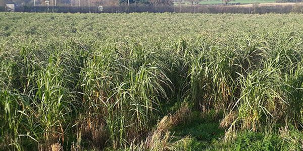 Miscanthus key to farmer's net zero ambitions