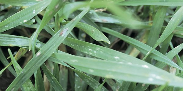 Consider early fungicide to keep lid on barley disease