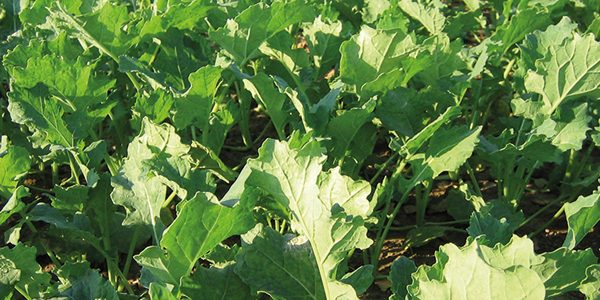 Opportunity 'should not be missed' for high value spring oilseed rape