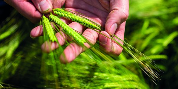 New varieties look set to forge better future for winter barley