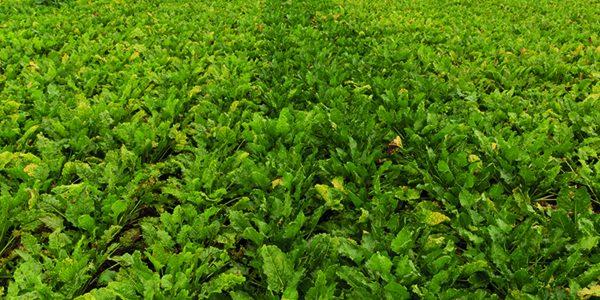 KWS launches first virus yellows tolerant beet