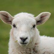 National Sheep Association launch Register of Sheep Advisers