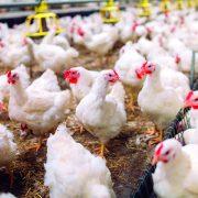Stay vigilant for bird flu, producers warned
