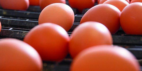 Study identifies genomic pathway could produce heavier eggs