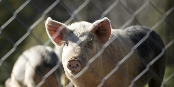 Elanco offers free E.coli tests on piglets