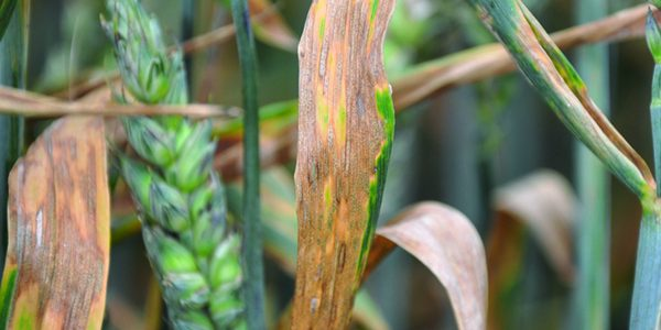 'Boom and bust' warning over septoria resistance