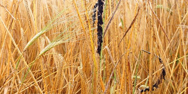 'Ticking time-bomb' warning for seed disease resurgence