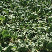 Promising results in quest for drought resistant beet