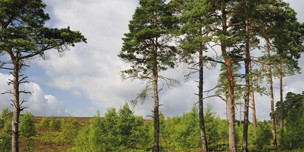Scots pine seed harvested to meet planting targets