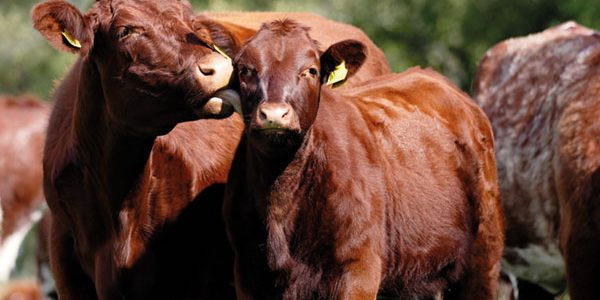 Maternal performance key to profitable suckler beef