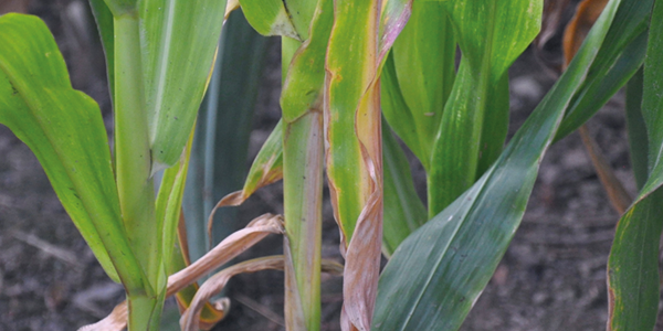 Five-point checklist reduces post-harvest maize losses